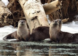 No More Otters