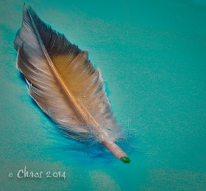 feather (1 of 1)