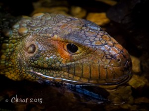 Caiman Lizard (1 of 1)