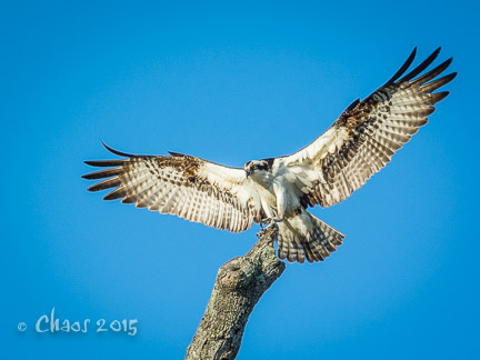 osprey (1 of 1)